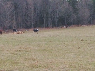 Cows graze where water once ran under the field....